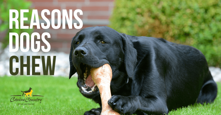 reasons dogs chew